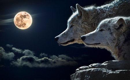 wilki księżyc
